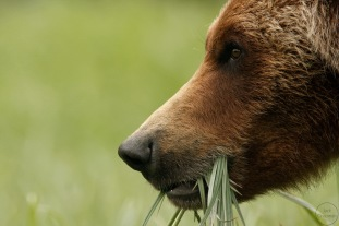 Close up of grizzly bear with mouthful of sedge grass