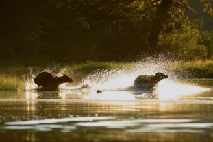 Two bears chasing through water backlit.