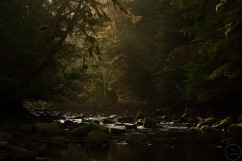 Distant bear in backlit river and forest scene