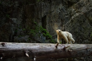 Kermode bear crossing log