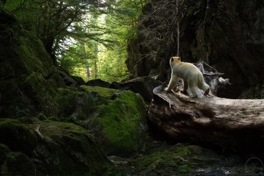 Kermode bear walking away in canyon
