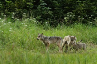 Two adult wolves with pups suckling from the female