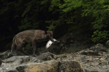Wolf with salmon in its mouth