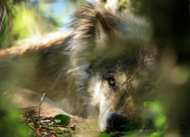 Close up of a wolf looking up