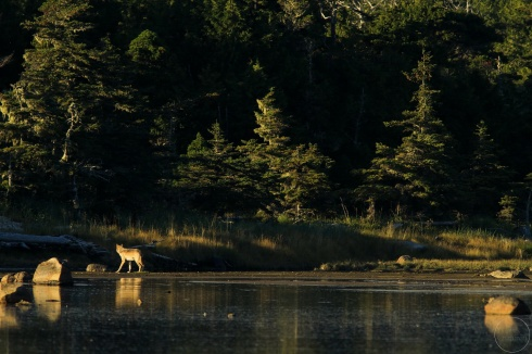 Distant wolf in late afternoon light