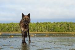 Wolf staring into camera
