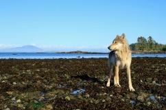 Wolf on a rocky beach