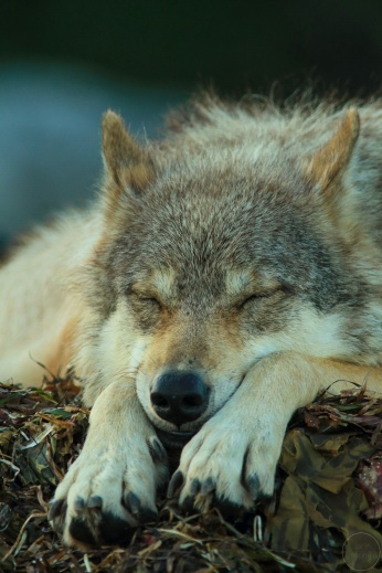 Close up of a sleeping wolf
