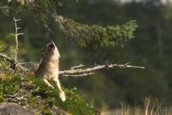 Wolf howling while lying down