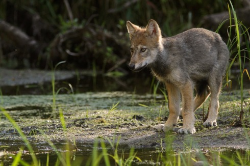 Wolf pup in a marsh