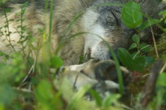 Close up of sleeping wolf