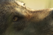 Close up of the eye of a wolf