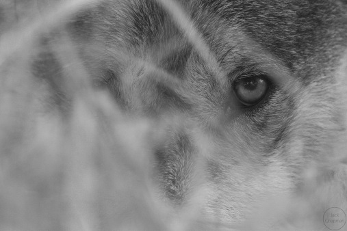 Monochrome close up of a wolf eye