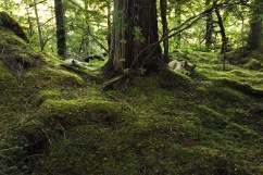 Two wolves resting on the forest floor around a redcedar trunk.