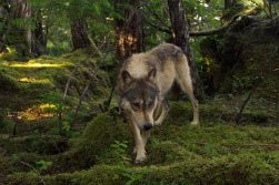 Wide angle view of a wolf in the forest