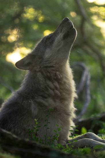 Close up of howling wolf