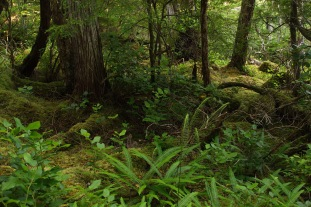 Temperate rainforest floor with a wolf