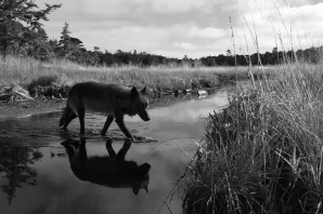 A wide angle photograph of a wolf crossing a stream