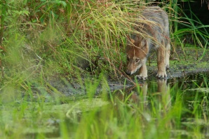 A wolf pup next to a marshy pool