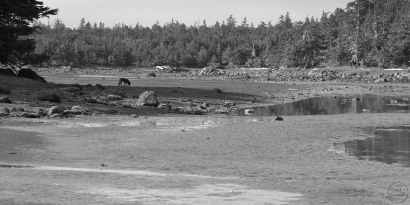 Distant wolf on mudflats
