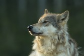 Coastal wolves of British Columbia