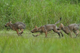Three wolf pups playfighting