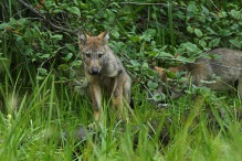 Wolf pup with second pup in the background