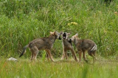 Three wolf pups playfighting