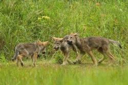 Three wolf pups playfighting.