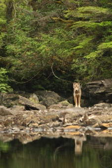 Wolf at the edge of a lake with reflection