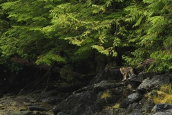 One black and one tan coloured wolf pup at the edge of the forest