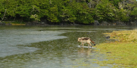 Wolf crossing a tidal creek in the rain