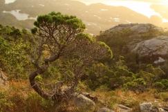 Pinus contorta contorta, British Columbia, Canada, Great bear rainforest, August, summer, Lodgepole pine, Campania Island
