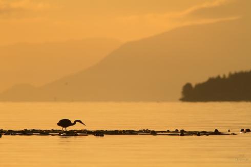 British Columbia, Canada, Port McNeill, Broughton Strait, September, autumn, Ardea herodia, silhouette