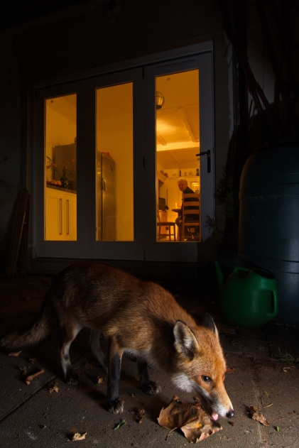 fox,home,22-02-090003