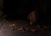 fox,home,31-10-080001
