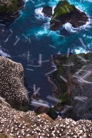 gannet,hermaness,08042010025