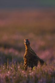 grouse,yorkshire,11-08-09-0037