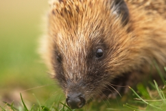 hedgehog,elmley marshes,01-03-090007_1