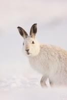 mountain hare,newtonmore,180210049_1