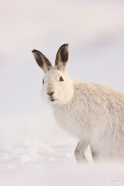 mountain hare,newtonmore,180210049_1
