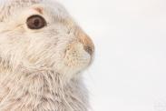 mountain hare,strathspey.31-12-100008_1