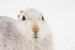 mountain hare,strathspey.31-12-100027_1