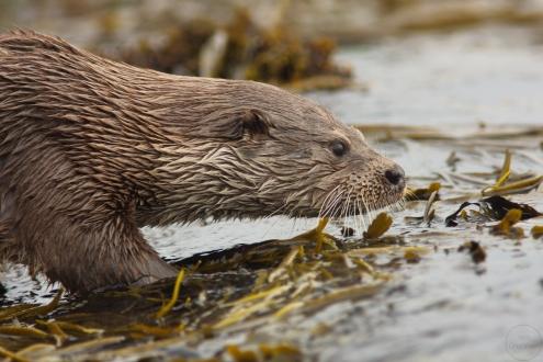 otter,yell,30-07-080025