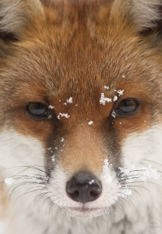 red fox,home,19-12-100002