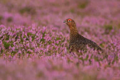 red grouse,yorkshire,20-08-080028