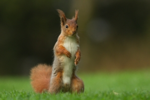 red squirrel,kirkennan_14-04-22_007