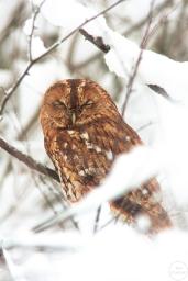 tawny owl,braemar,01-01-100012